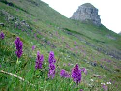 Peak District early purple orchids near St Peter's Stone